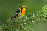 Blackburnian Warbler singing from conifer