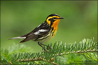 Blackburnian Warbler perched on a conifer