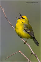 Blue-Winged Warbler singing