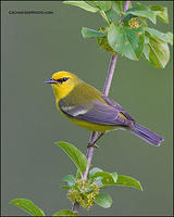 Blue-Winged Warbler profile