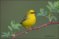 Blue-Winged Warbler on raspberry bush