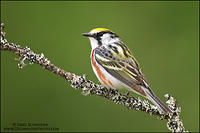 Chestnut-sided Warbler perched on a lichen covered branch