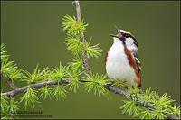 Chestnut-sided Warbler singing from tamarack perch
