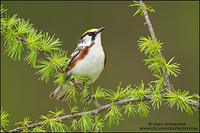 Chestnut-sided warbler perched on a tamarack