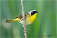 Common Yellowthroat on reed