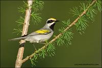 Golden-Winged Warbler on Tamarack
