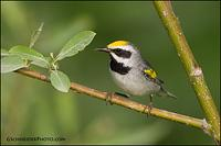 Golden-Winged Warbler in habitat