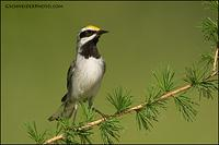Golden-Winged Warbler (1065)