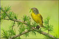 Nashville Warbler carrying food