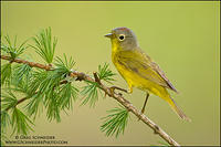 Nashville Warbler (male) on tamarack