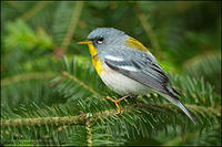 Northern Parula perched on conifer