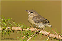 Juvenile Pine Warbler perched on a branch
