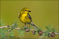 Male Pine Warbler on tamarack