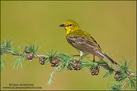 Male Pine Warbler perched on tamarack (9429)