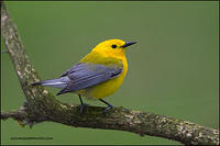 Prothonotary Warbler perched on mossy branch
