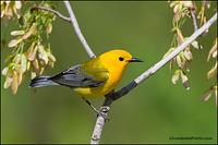 Prothonotary Warbler (7412)
