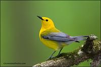 Prothonotary Warbler (7496)