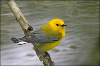 Prothonotary Warbler over water