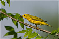 Yellow Warbler catching housefly