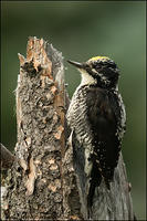 American Three-toed Woodpecker side view