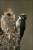 American Three-toed Woodpecker on snag