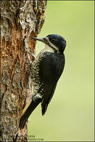 Black-Backed Woodpecker (female) at nest