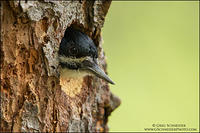 Black-backed Woodpecker peering from nest cavity