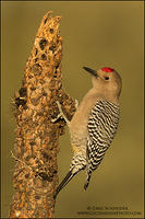 Gila Woodpecker on dried cactus
