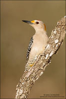 Male Golden-fronted Woodpecker on branch #2