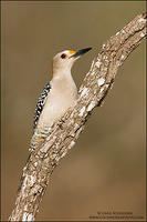Male Golden-fronted Woodpecker on branch