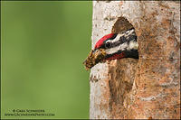 Yellow-bellied Sapsucker excavating nest cavity