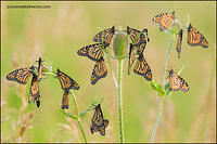 Monarch butterflies roosting