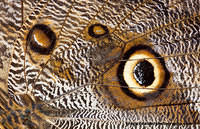 Owl butterfly wing texture