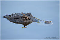 American Alligator resting with head above water