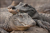American Alligators resting