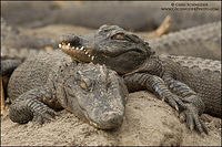 Two American Alligators sleeping