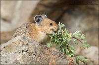 Pika collecting plant material
