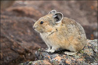 Adult Pika on rocky slope