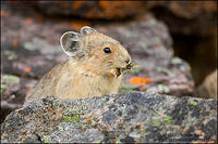 American Pika with small flower