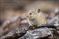Juvenile Pika on rock pile