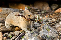 American Pika carrying plant debris