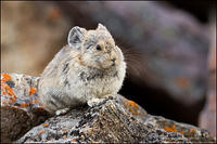 Pika on lichen-covered rock
