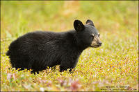 Black Bear cub among blueberries