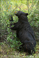 Black Bear pawing at berries