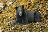 Black Bear looking quizzically