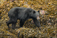 Black bear walking along shoreline
