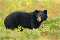 Black Bear sow in brush