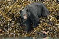 Adult Black Bear at water's edge
