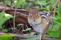 Eastern Chipmunk in hiding