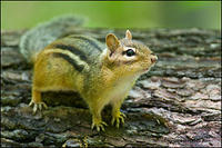 Eastern Chipmunk on log (2251)